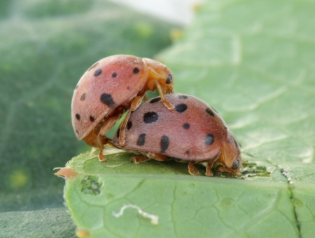 Mating Beetles perched on a plant leaf  photo