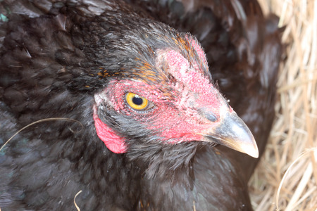 Hen laying eggs in its nest