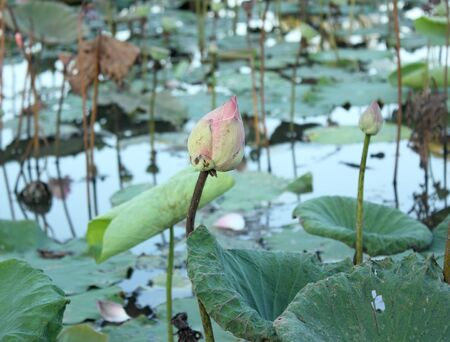 Close Up Shot of Pink Petal Lotus in the pond