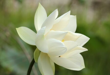 White lotus  and green leaves