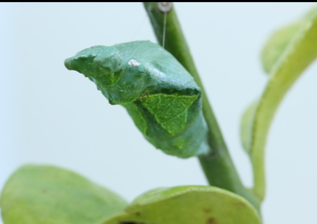 A close-up butterfly pupa details Stock Photo