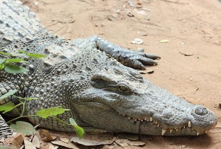 Crocodile in zoo, Crocodile in Thailand Stock Photo