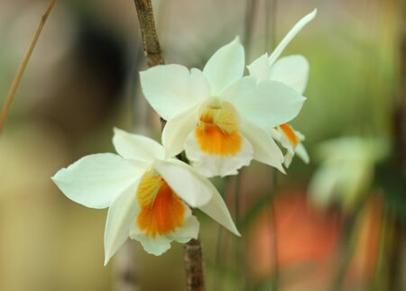 Beautiful white Orchid in Thailand Stock Photo