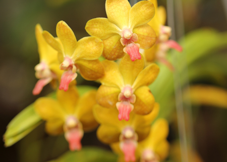 Beautiful yellow Orchid in Thailand Stock Photo