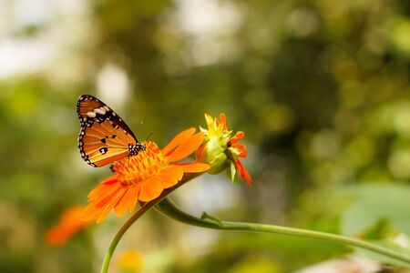 The Orange Zinnia and Butterfly in the park Stock Photo - 16442692