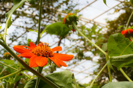 The Orange Zinnia in the park of butterfly Stock Photo - 16439734