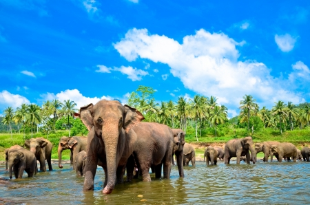 Elephant group in the river photo
