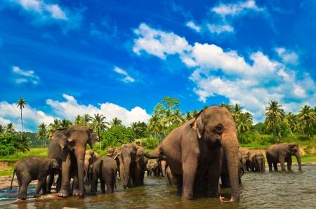 sri lanka: Elephant group in the river Stock Photo