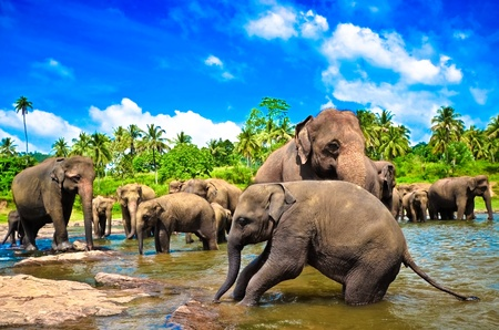 Elephants in the river photo