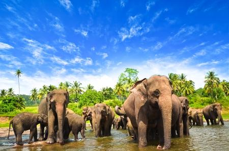 elefante: Grupo Elefante en el r?o Foto de archivo