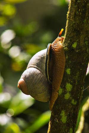 Lanka snail Stock Photo