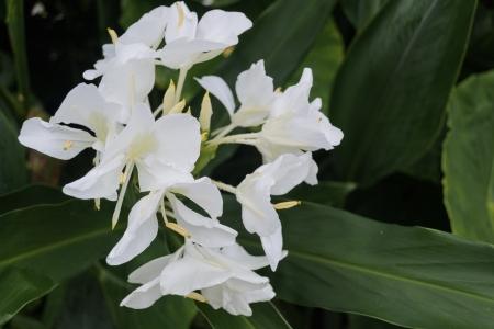 white ginger flower is a fragrant flower