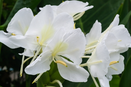 white ginger flower is a kind of tropical plant  Stockfoto
