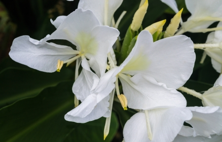 white ginger flower is a kind of tropical plant