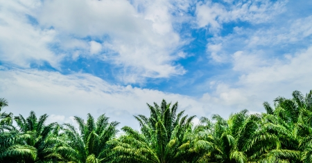 cropland: Oil palms with cloudy blue sky