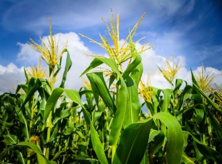Corn field with cloudy blue sky Stock Photo