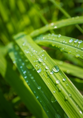 Water drops on lamongrass in the morning photo