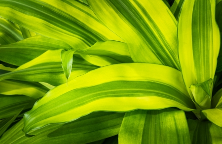 auspices: Pattern of green leaf name Queen of Dracaenas which is an auspicious plant in thailand Stock Photo