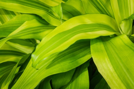 Pattern of green leaf name Queen of Dracaenas which is an auspicious plant in thailand Stock Photo