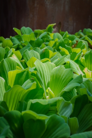 floatable: Mosquito fern or Water fern are floated on the pond