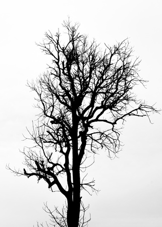 A silhouette tree is isolated on white background photo