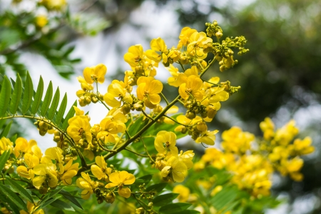 cassod tree, cassia siamea or siamese senna is yellow flower which is edible plant