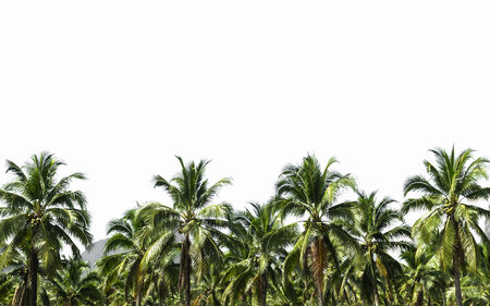 coconut plantation is isolated on white background photo