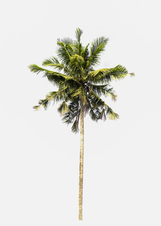 coconut tree is isolated on white background Stock Photo