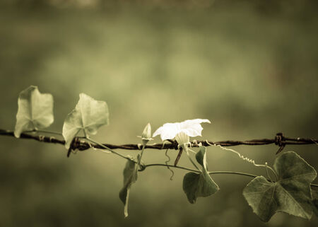blossom of white flower on rust barbed wire, freedom of nature photo