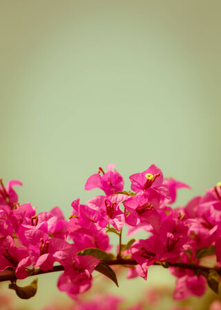 close up pink bougainvillea flower vintage background photo