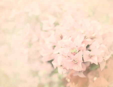 close up pink bougainvillea flower or paper flower background photo