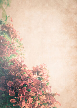 flamboyant: rode Flamboyant bloem op vintage papier achtergrond Stockfoto