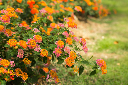 Lantana Camara flower in the garden under sunlight
