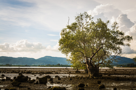 swampland: Big tree in a swampland with cloudy sky