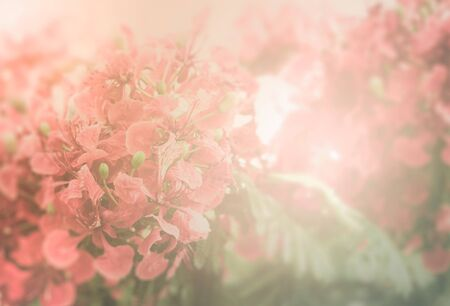flamboyant: Red Flamboyant flower in soft and blur style for background