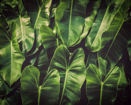 Green leaves tropical background, Green leaves under sunlight, Natural concept.