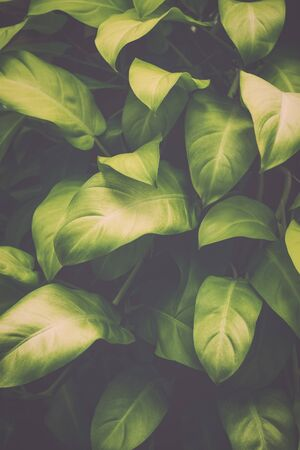 Green leaves tropical plant background, Nature texture concept. Stock Photo