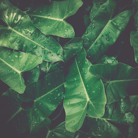Green leaves tropical background, Green leaves with dews under sunlight, Natural concept.