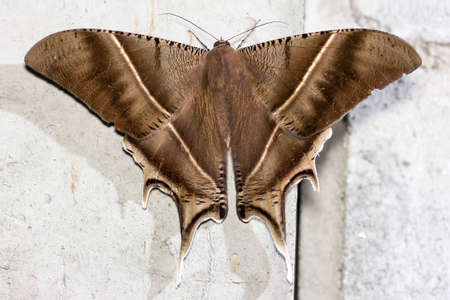 close up healthy and beautiful brown moth reasting on cement wall