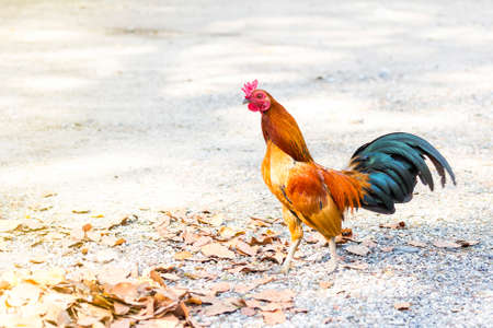 Beautiful and healthy rooster walking on ground