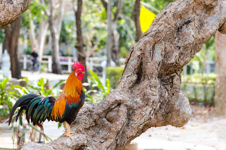 Beautiful and healthy rooster standing on brown tree Reklamní fotografie