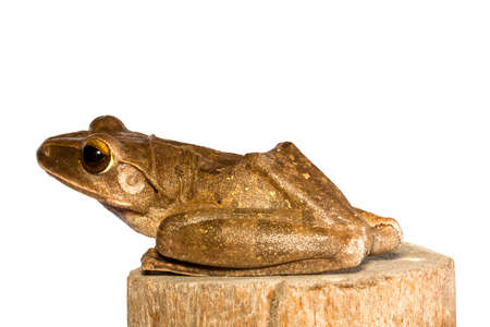 Polypedates leucomystax, Golden tree frog ,Common tree frog, stay on timber isolated white background