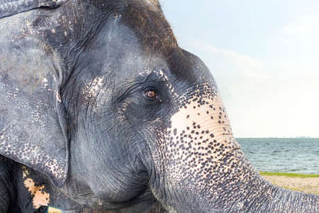 close up head of healthy big asian elephant at beach in bright day.