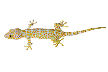healthy thailand tokay gecko isolated on white background