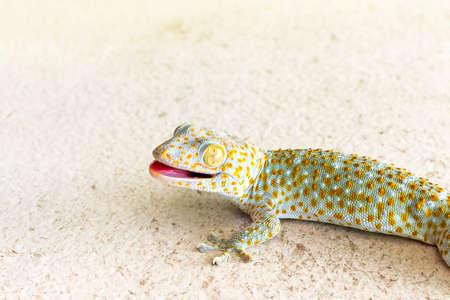 close up healthy thailand tokay gecko walking on ground