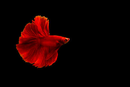 Siamese red fighting fish or betta fish isolated on black  background with clipping path and copy space