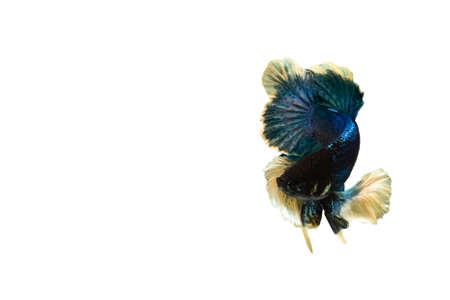 Siamese blue fighting fish or betta fish isolated on white background with clipping path and copy space