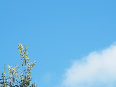 leguminosae: Cassod  Tree blue