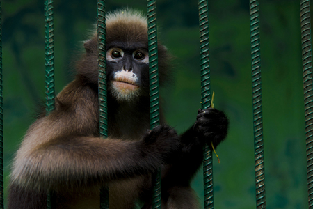 The monkeys are trapped in a steel cage and exhibit the cruelty of mankind.