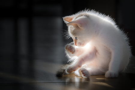 Small white cats are licking themselves clean themselves.